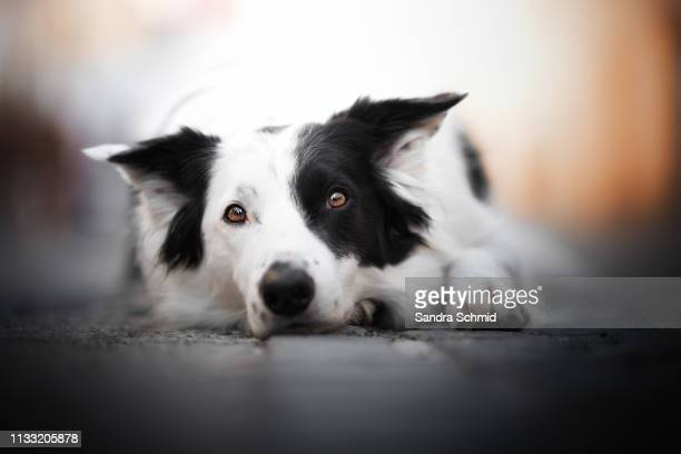border collie portrait - in bodenhöhe stock pictures, royalty-free photos & images