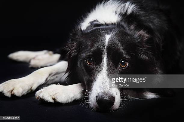 border collie portrait - cris cantón photography stock pictures, royalty-free photos & images