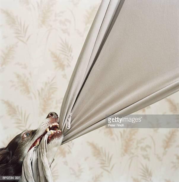 border collie pulling at beige fabric, close-up - 引く ストックフォトと画像
