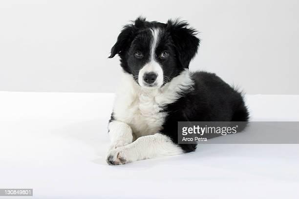 Border Collie, puppy, 10 weeks