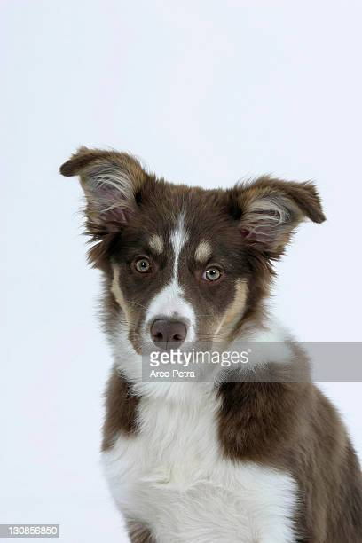 Border Collie, puppy, 4 month