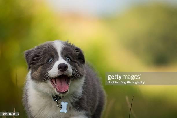 A Border Collie puppy