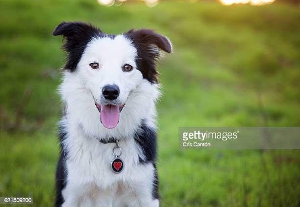 border collie puppy - collie stock photos and pictures