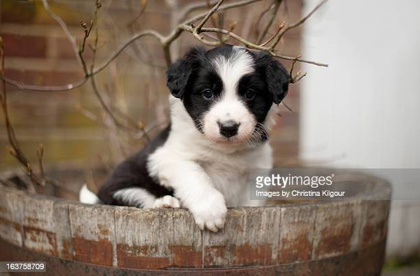 Border Collie Puppy Sitting In A Pot