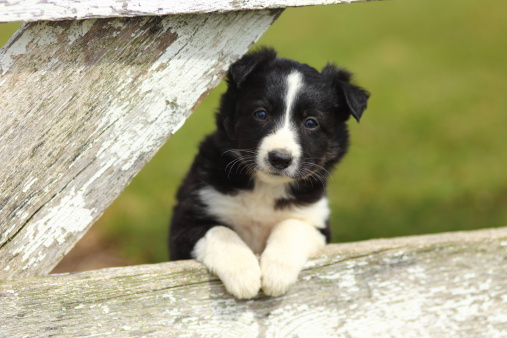 Border Collie Puppy With Paws on White Rustic Fence III 485673645