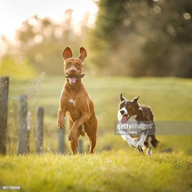 border collie running after vizsla - chasing stock pictures, royalty-free photos & images