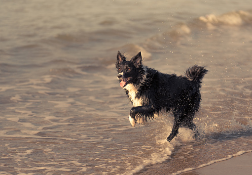 Border Collie running and jumping freely on the beach at sunset 883788812