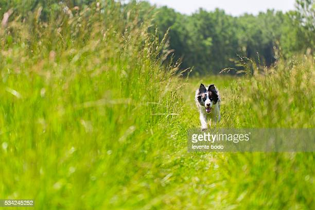 Border Collie running and training the in grass