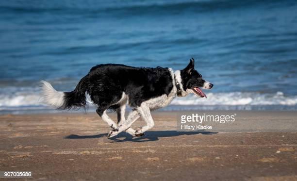 border collie running on beach - border collie fotografías e imágenes de stock