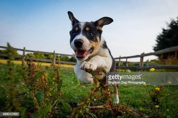 A Border Collie running through a field