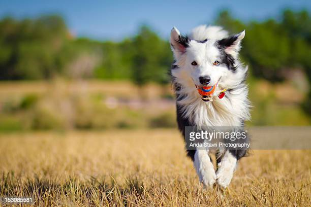 border collie running with ball - border collie stock pictures, royalty-free photos & images