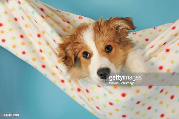 border collie, sable, puppy, 14 weeks old - collie stock photos and pictures