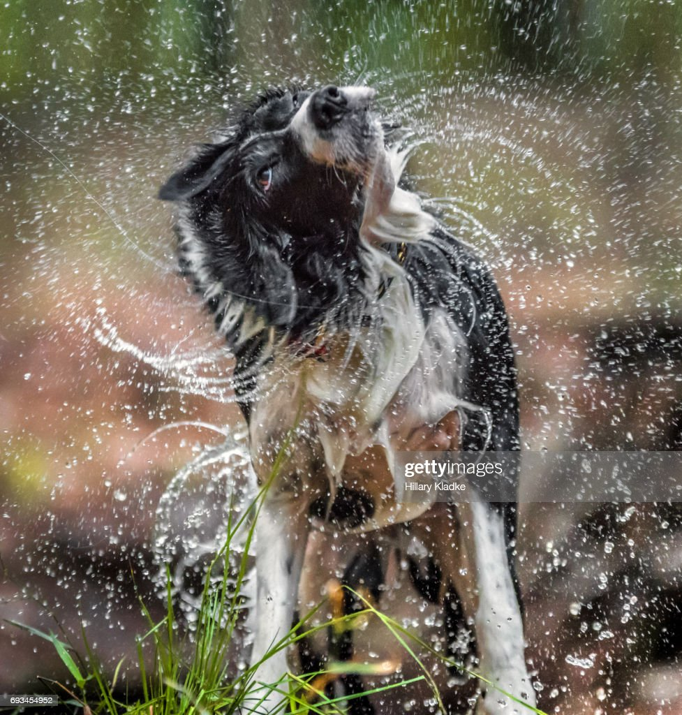 Border Collie shaking off water : Stock Photo