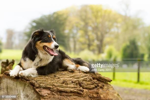 Border Collie sitting on a fallen tree