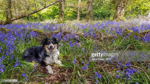 border collie sitting within the bluebells - alternative pose stock pictures, royalty-free photos & images