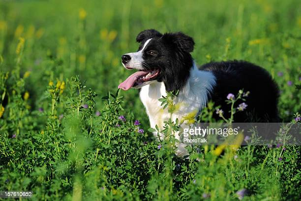 Border Collie, Smart Sheepdog - XLarge