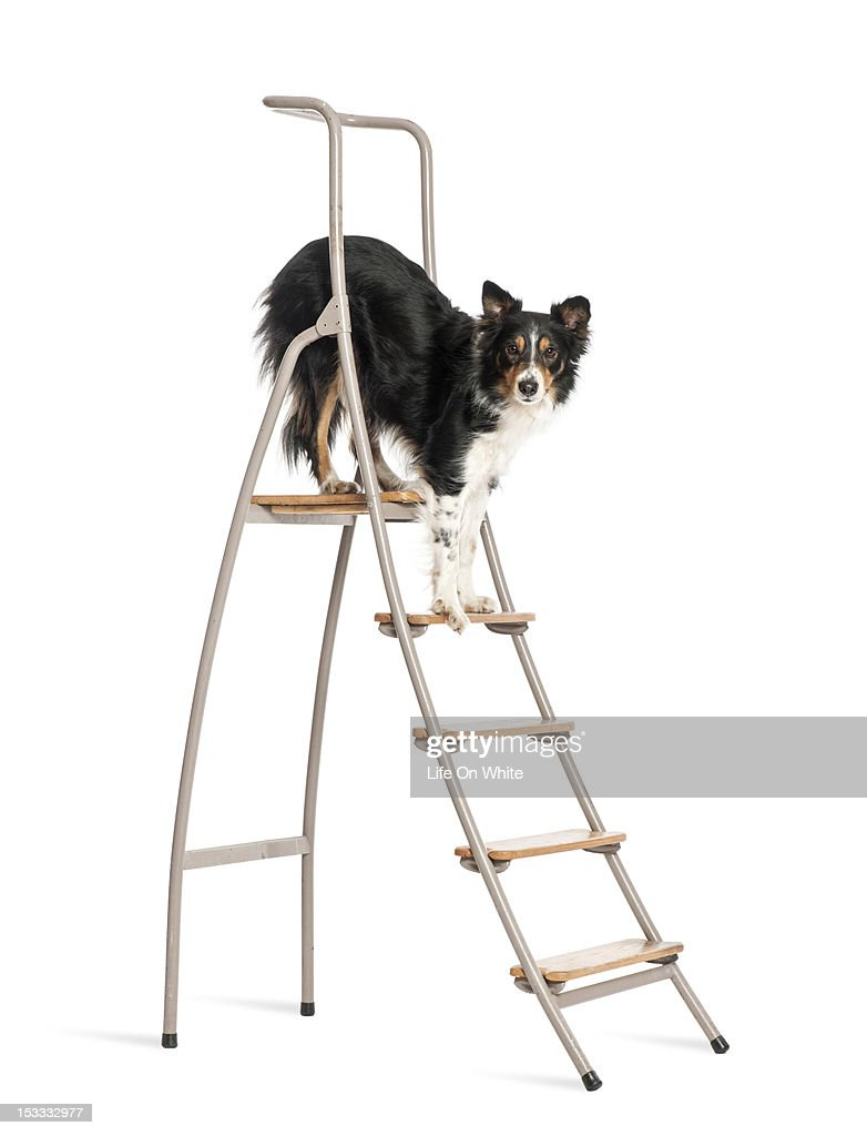 Border Collie standing on a ladder : Bildbanksbilder