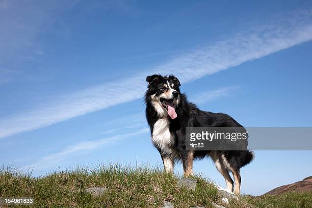 Border collie standing on clifftop