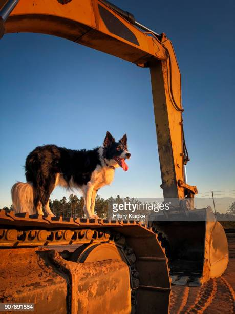 Border Collie stands on construction truck