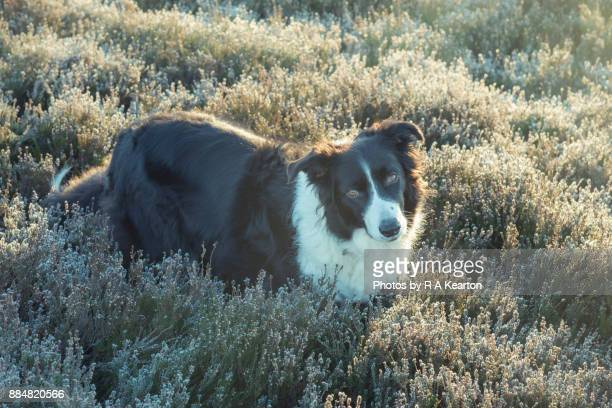 Border Collie stood in frosted heather