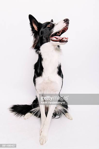 Border Collie studiopicture white background