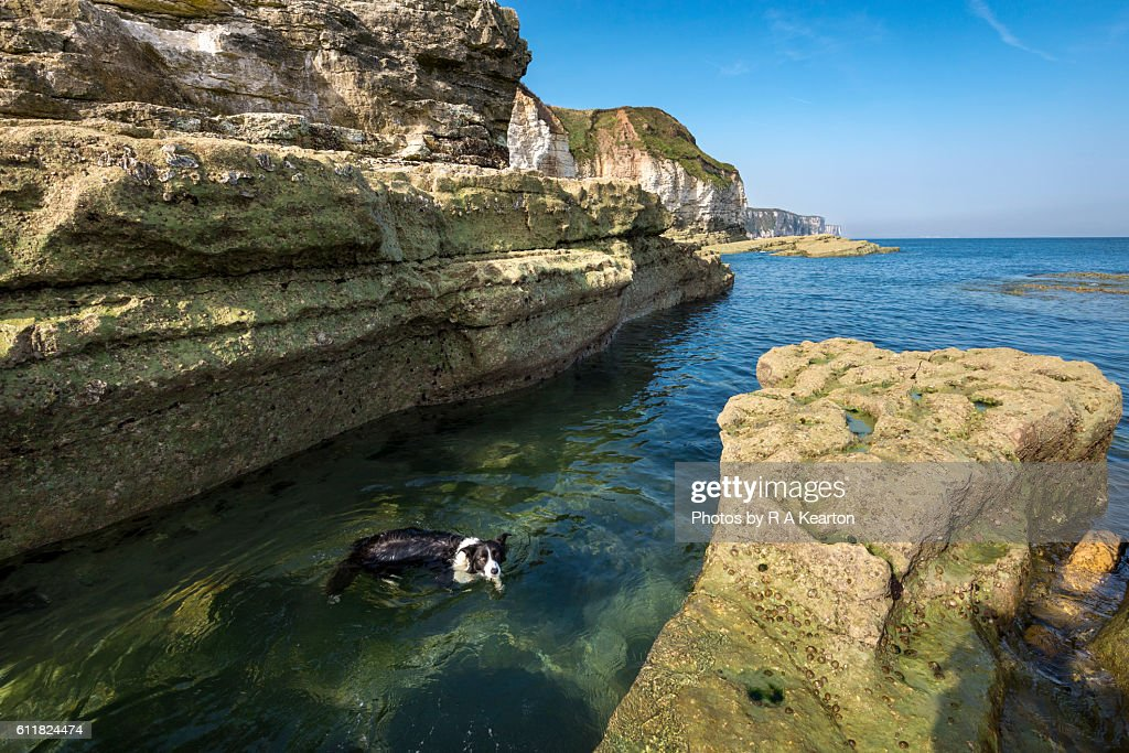 Border Collie swimming in clear water on the east coast of England : Stock Photo