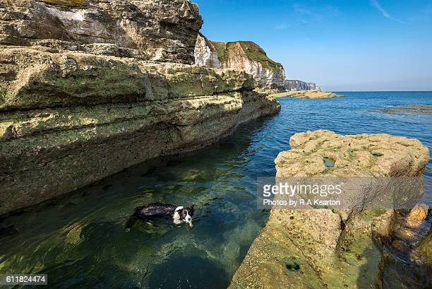 Border Collie swimming in clear water on the east coast of England