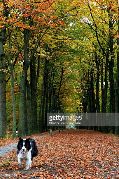 a border collie walking in the autumn woods - nee nee stock pictures, royalty-free photos & images