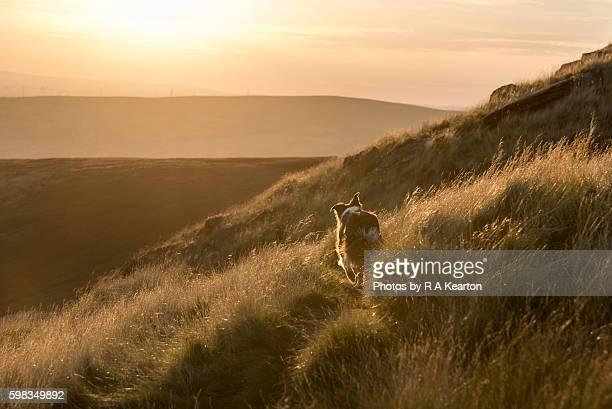 Border Collie walking on a sunlight hillside path