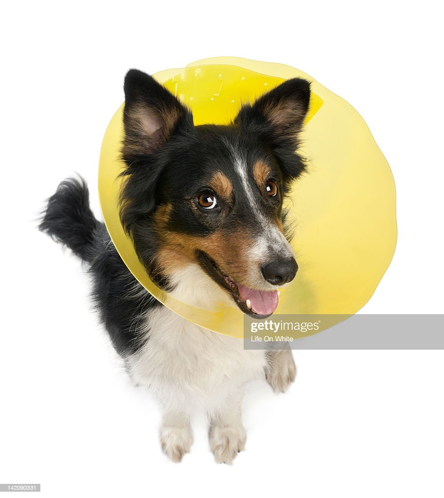 Border collie wearing a space collar : Stock Photo