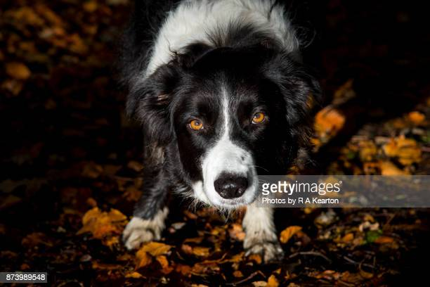 Border Collie with clear amber eyes