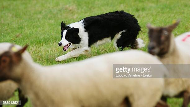 border collie with sheep on field - collie stock photos and pictures