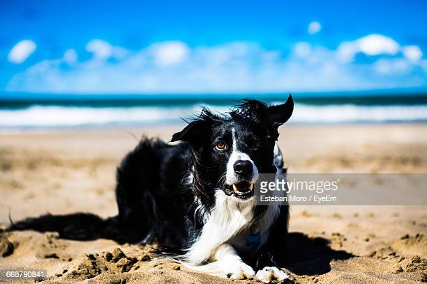 Border Coolie Sitting On Sand At Beach Against Sky
