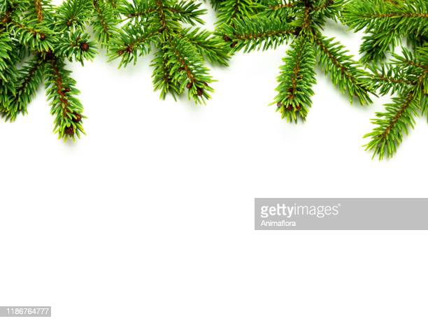 border fir branches isolated template card