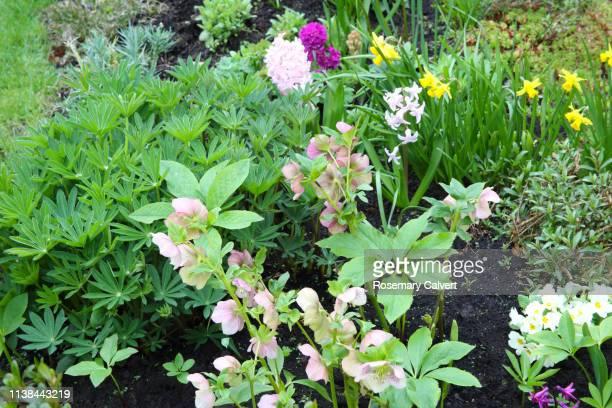 border in domestic garden in early spring, england. - ヘレボルス ストックフォトと画像