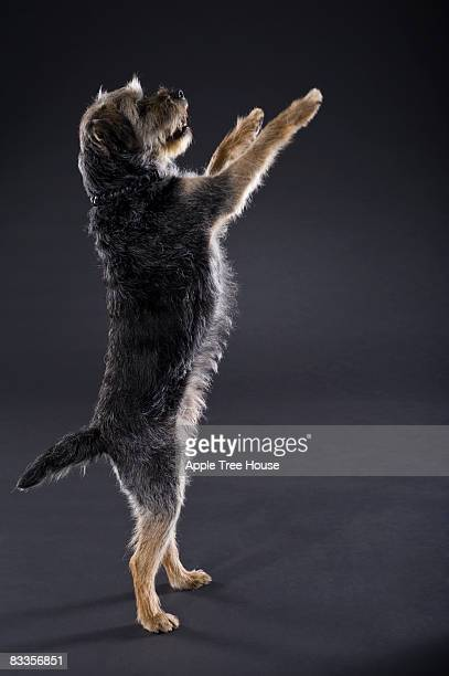 Border Terrier begging on hind legs
