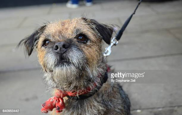 border terrier dog in ambleside uk staring at camera - border terrier stock pictures, royalty-free photos & images