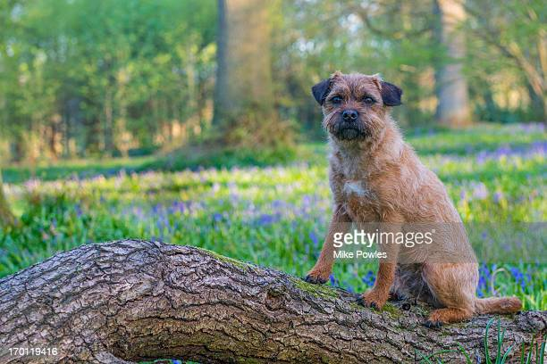 border terrier dog in bluebell woodland, norfolk - border terrier stock pictures, royalty-free photos & images