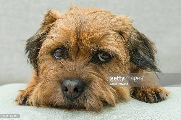 border terrier dog looking woeful - border terrier stock pictures, royalty-free photos & images