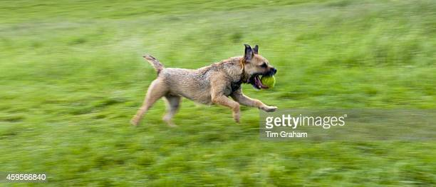 Border Terrier dog running away with tennis ball in the United Kingdom