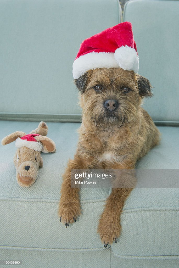 Border Terrier dog with Christmas hat and toy : Stock Photo