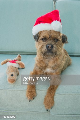 border terrier dog with christmas hat and toy ストックフォト getty