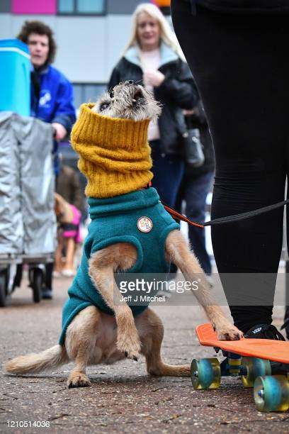 Border Terrier dressed for the weather arrives for day one of Crufts 2020 at National Exhibition Centre on March 5, 2020 in Birmingham, England.