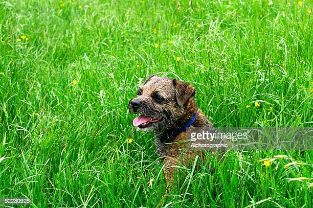 border terrier in field of long grass and wildflowers - border terrier stock pictures, royalty-free photos & images