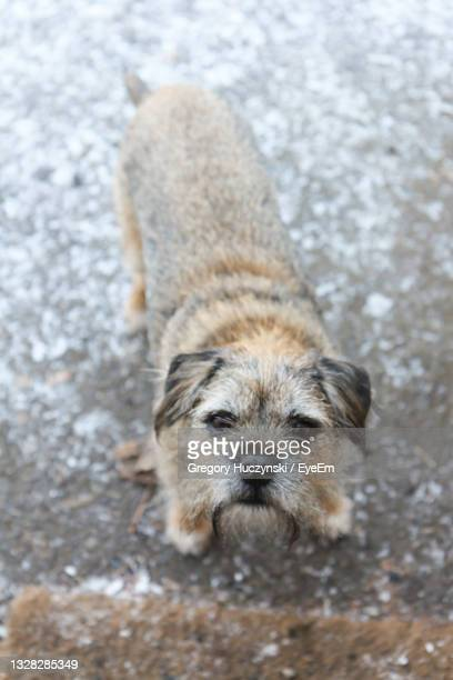 border terrier looking up - border terrier stock pictures, royalty-free photos & images