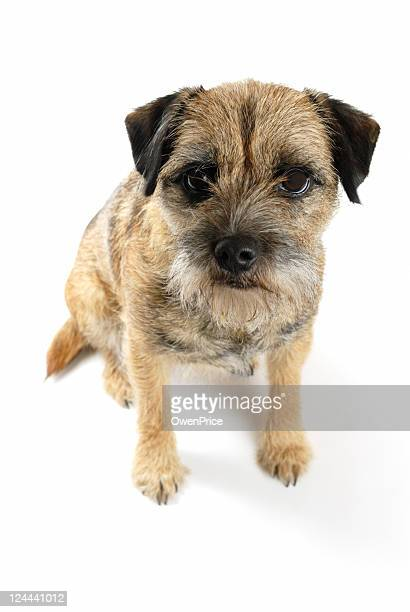 border terrier - border terrier stock pictures, royalty-free photos & images