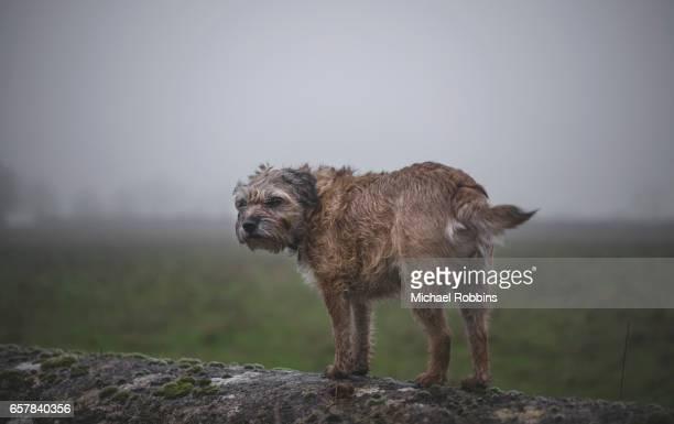 border terrier - norfolk terrier photos et images de collection