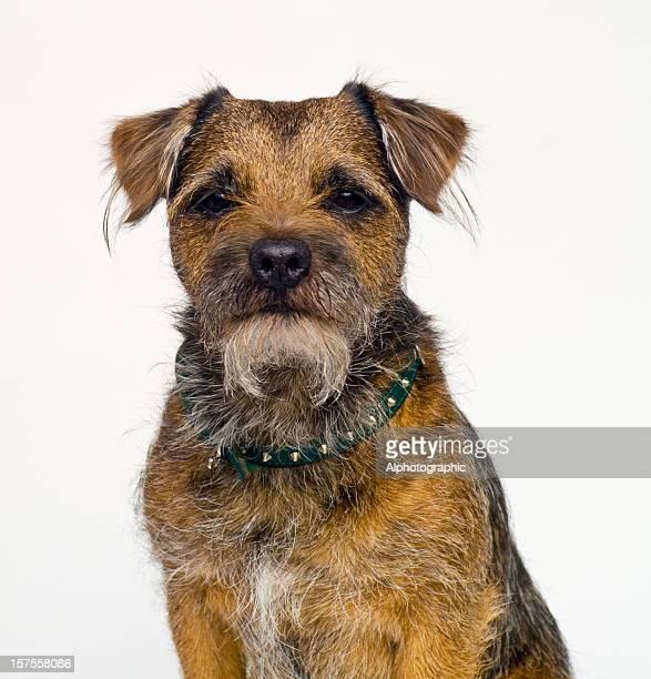border terrier portrait - border terrier stock pictures, royalty-free photos & images