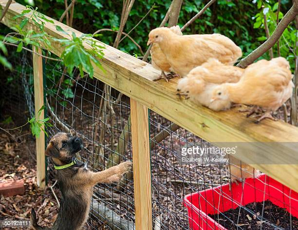 Border terrier puppy and chickens