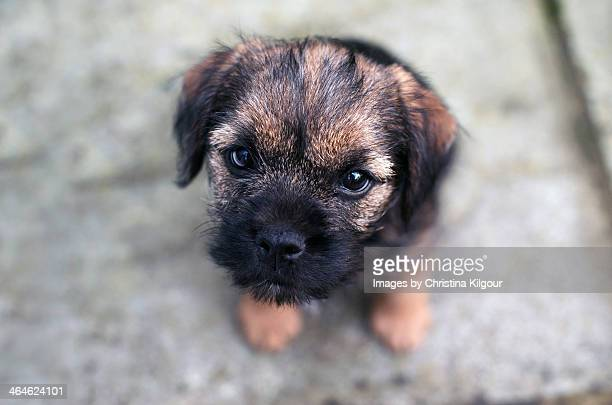 border terrier puppy - border terrier stock pictures, royalty-free photos & images